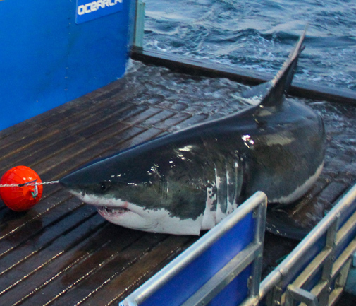 Mary Lee Great White Shark