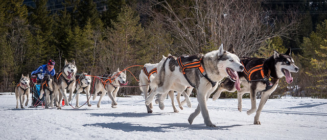 "Image credit: Ralf ???????'s ""Damon in front - Sled Dogs in Wallgau Bavaria"""